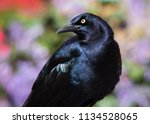 a great tailed grackle posed in ... | Shutterstock . vector #1134528065