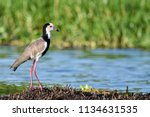 Small photo of The red-wattled lapwing (Vanellus indicus) is an Asian lapwing or large plover, a wader in the family Charadriidae. Like other lapwings they are ground birds that are incapable of perching