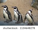 animal bird humboldt penguin   Shutterstock . vector #1134648278