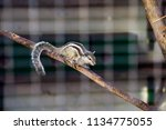 Striped Asian Siberian Chipmun...