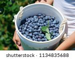 woman holding fresh picked... | Shutterstock . vector #1134835688