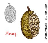 marang or terap fruit sketch of ... | Shutterstock .eps vector #1134850805