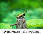 common tuft bearing longhorn... | Shutterstock . vector #1134907382