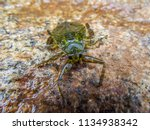 Giant Water Bug On A Rock
