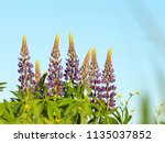 lupinus perennis in sunset... | Shutterstock . vector #1135037852