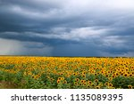 sunflower field against a... | Shutterstock . vector #1135089395