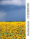 sunflower field against a... | Shutterstock . vector #1135089398
