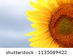 sunflower in sunlight against... | Shutterstock . vector #1135089422