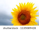 sunflower in sunlight against... | Shutterstock . vector #1135089428