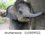 Stock photo baby elephant side by side with its mother 113509522