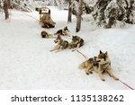 husky dogs harnessed in... | Shutterstock . vector #1135138262