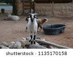 beautiful mammal goat | Shutterstock . vector #1135170158