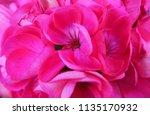 Pink Geranium Flowers As A...