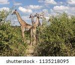 herd of south african giraffe... | Shutterstock . vector #1135218095
