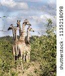 herd of south african giraffe... | Shutterstock . vector #1135218098