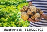 organic homemade vegetables in... | Shutterstock . vector #1135227602
