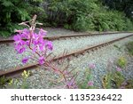 pink curved inflorescence of... | Shutterstock . vector #1135236422