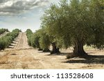 olive trees in a row.... | Shutterstock . vector #113528608