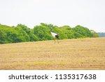 wild grus japonensis   Shutterstock . vector #1135317638