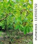 A View Of A Cacao Plantation I...