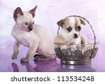 Stock photo chihuahua puppy and kitten 113534248