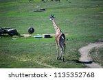 giraffe outside during midday  | Shutterstock . vector #1135352768