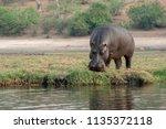 hippopotamus  adult hippo... | Shutterstock . vector #1135372118