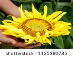 close up of a sunflower in... | Shutterstock . vector #1135380785