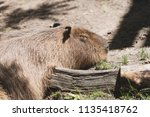 large capybara in a zoo | Shutterstock . vector #1135418762