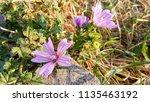 malva sylvestris  mallow plant...   Shutterstock . vector #1135463192