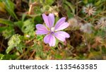 malva sylvestris  mallow plant...   Shutterstock . vector #1135463585