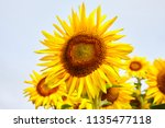 fields with an infinite... | Shutterstock . vector #1135477118