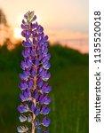 purple lupine at sunset. | Shutterstock . vector #1135520018