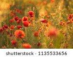 poppy field during spring sunny ... | Shutterstock . vector #1135533656