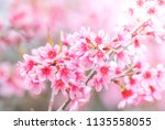 cherry blossom in spring with... | Shutterstock . vector #1135558055