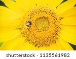 Bumblebee Pollinating A...
