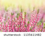Heather Flowers. Bright Natura...