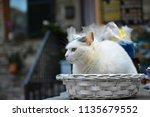 A White Shop Cat Sits In A...