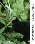 common moorhen  gallinula... | Shutterstock . vector #1135707818