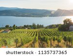 Rows Of Grapevines On Hillside...