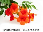 chinese trumpet creeper | Shutterstock . vector #1135755545
