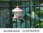 blue jay songbird flying onto... | Shutterstock . vector #1135763525