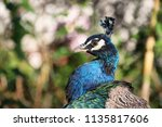 colorful peacock portrait.... | Shutterstock . vector #1135817606