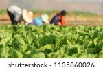 tobacco with farmers | Shutterstock . vector #1135860026