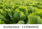 tobacco in the agricultural... | Shutterstock . vector #1135860032
