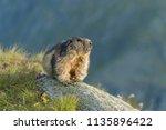 Portrait Of Alpine Marmot ...