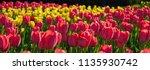 Red Flower Tulips Flowering On...
