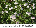 phyla nodiflora or cape weed ... | Shutterstock . vector #1135944245