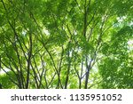 green maple leaves on outspread ... | Shutterstock . vector #1135951052