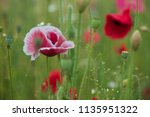 close up of red poppy flowers... | Shutterstock . vector #1135951322